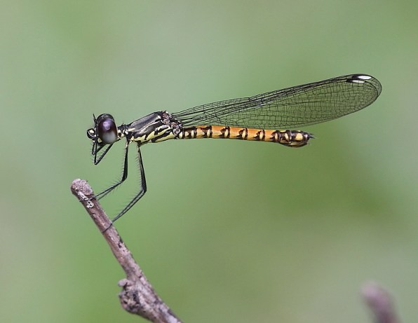 Clearwing Gem (Libellago hyalina)