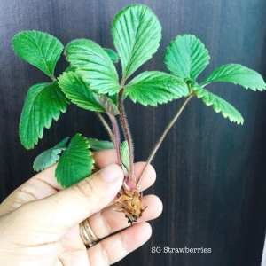 Grow White Strawberries from seeds in Singapore