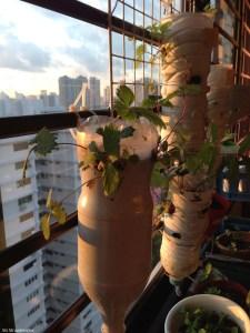 Transplanting mature strawberry plants
