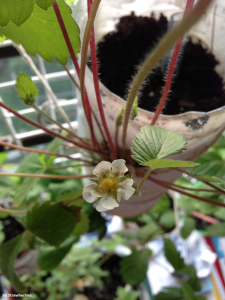 Self pollinated strawberry flower