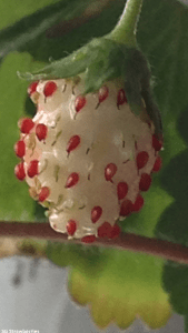 5th stage of strawberry fruit development