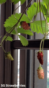 Grow Harvest Strawberries from seeds in Singaporee