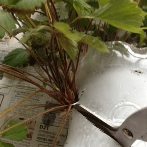 How to transplant mature strawberry plants