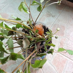 How to treat sick strawberry plants