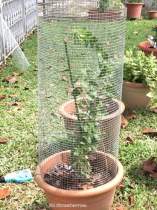 Grow wolfberries, gojiberries or kau kee