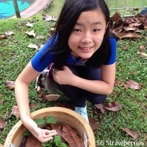 Growing strawberries in outdoor Singapore garden