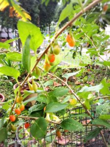 Grow gojiberry n wolfberry in Singapore