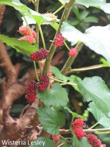 How to grow mulberry plants from stem cuttings