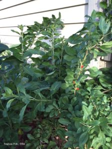 Grow goji or Wolfberries