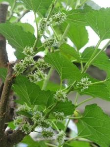 Mulberry flowers after hard pruning