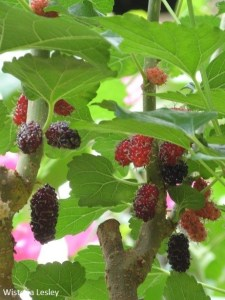 Grow Mulberries in Singapore
