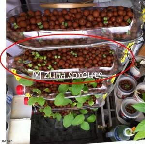 Lim San's Mizuna