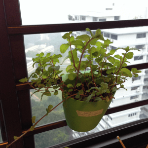 How to grow mint from propagation