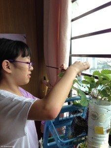 Pollinating strawberry flowers with children