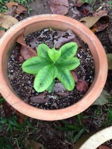 Potassium deficiency plant