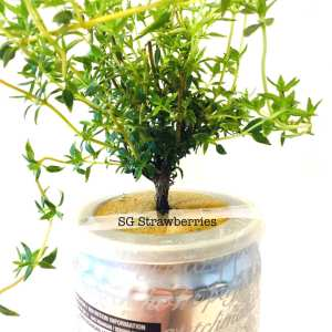 Grow thyme well from cutting in Singapore