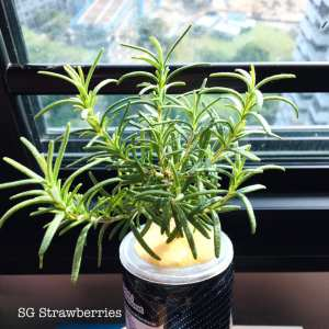 Grow rosemary from cutting in Singapore