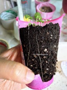 Grow lavender from seeds in Singapore