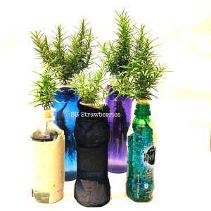 Grow Rosemary from cutting or seeds in containers