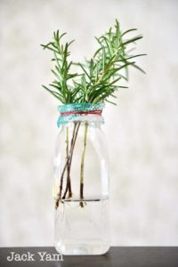 Rooting rosemary cutting
