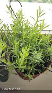 Grow English Lavender from cutting