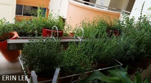 How to grow thyme well in Singapore