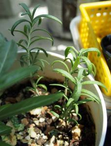 How to grow rosemary from cutting