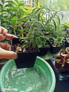 How to water rosemary plants