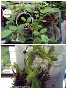 What happened after strawberry stopped fruiting