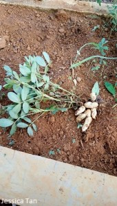 Grow Peanuts is easy
