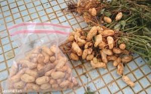 Home Grown Peanuts