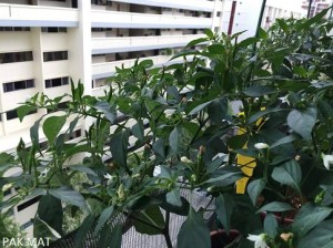 Pests free Chilli plants