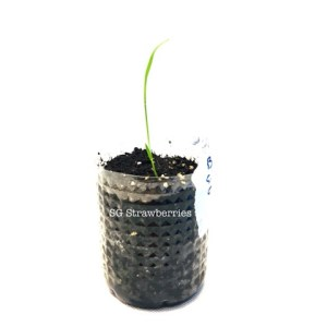 Grow rice seedlings from seeds in containers