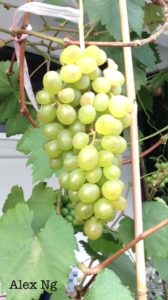 Grapes Growers in Singapore