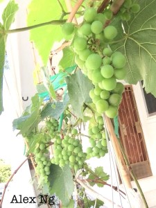 Grow grapes in SG corridor