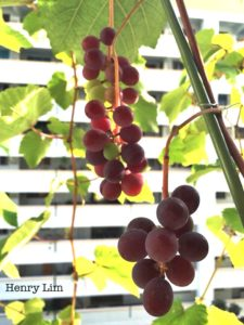 Grapes in high rise gardens
