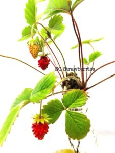 Grow strawberries in the tropics
