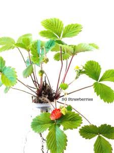 Grow strawberries w zero carbon footprint