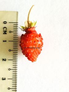 Grow strawberries in tropical country