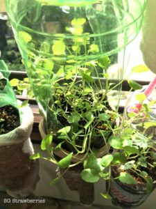 Grow watercress from seeds
