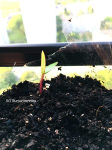 Grow Malabar Spinach from seeds