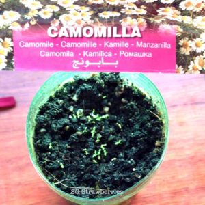 Grow camomile from seeds