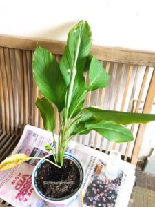 Grow own turmeric ginger in pots