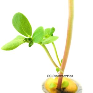 Golden Purslane Plant Care