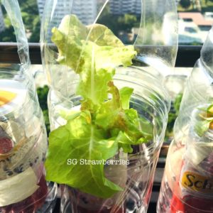 Grow different varieties lettuce from seeds in Singapore