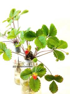 Grow strawberries from seeds in Singapore