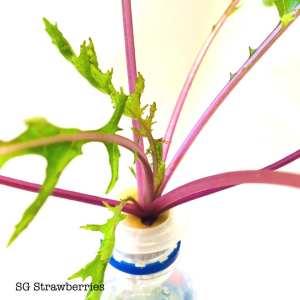Grow Mizuna ミズナ, 水菜, Beni HOUSHI from seeds in Singapore