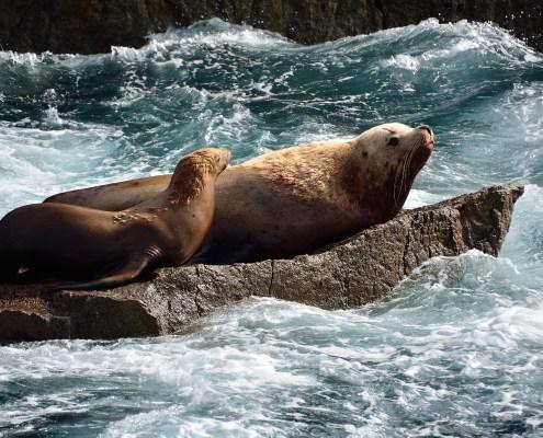 Alaska: leoni marini