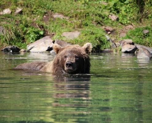 Alaska: sguardo dell'orso