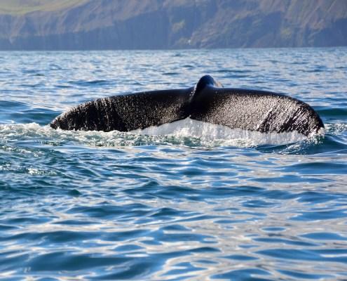 Islanda coda balena 8